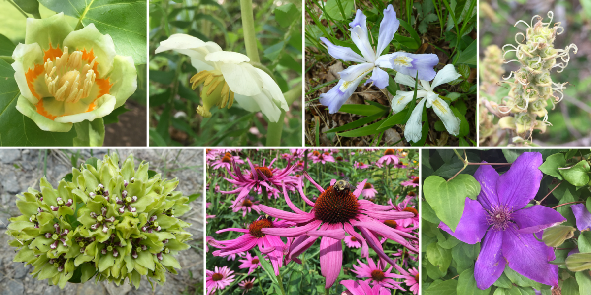 Angiosperms. Top row: tulip poplar, mayapple, dwarf lake iris, and winter hazel. Bottom row: green milkweed, echinacea, and clematis.