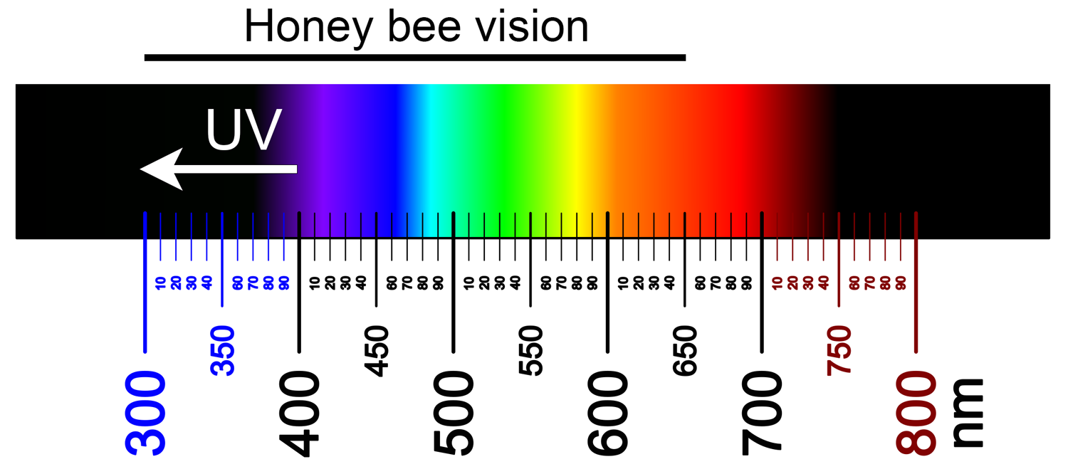 Color spectrum showing the range of honey bee color vision, about 300-650 nm (UV to orange-red).