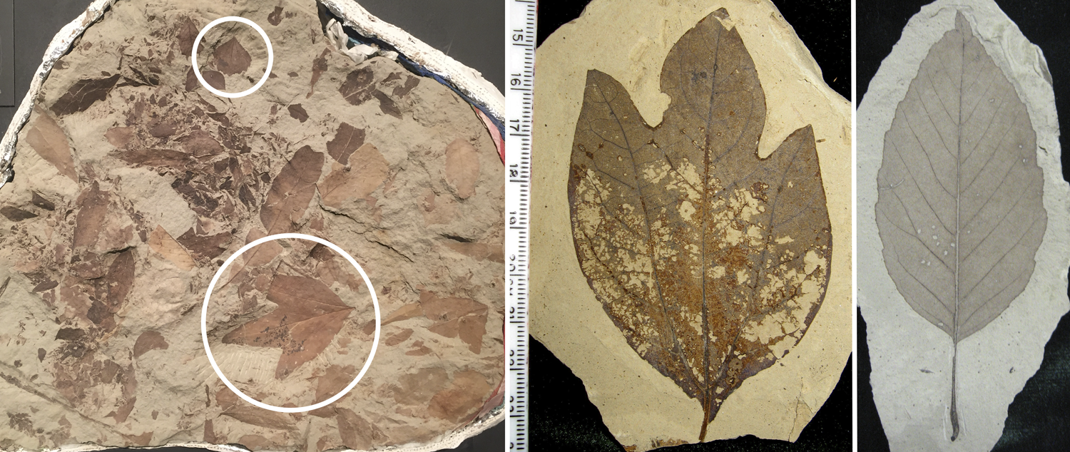3-Panel figure. Panel 1: A slab of Cretaceous leaves. Panel 2. An Eocene sassafras leaf. Panel 3. An Eocene alder leaf.