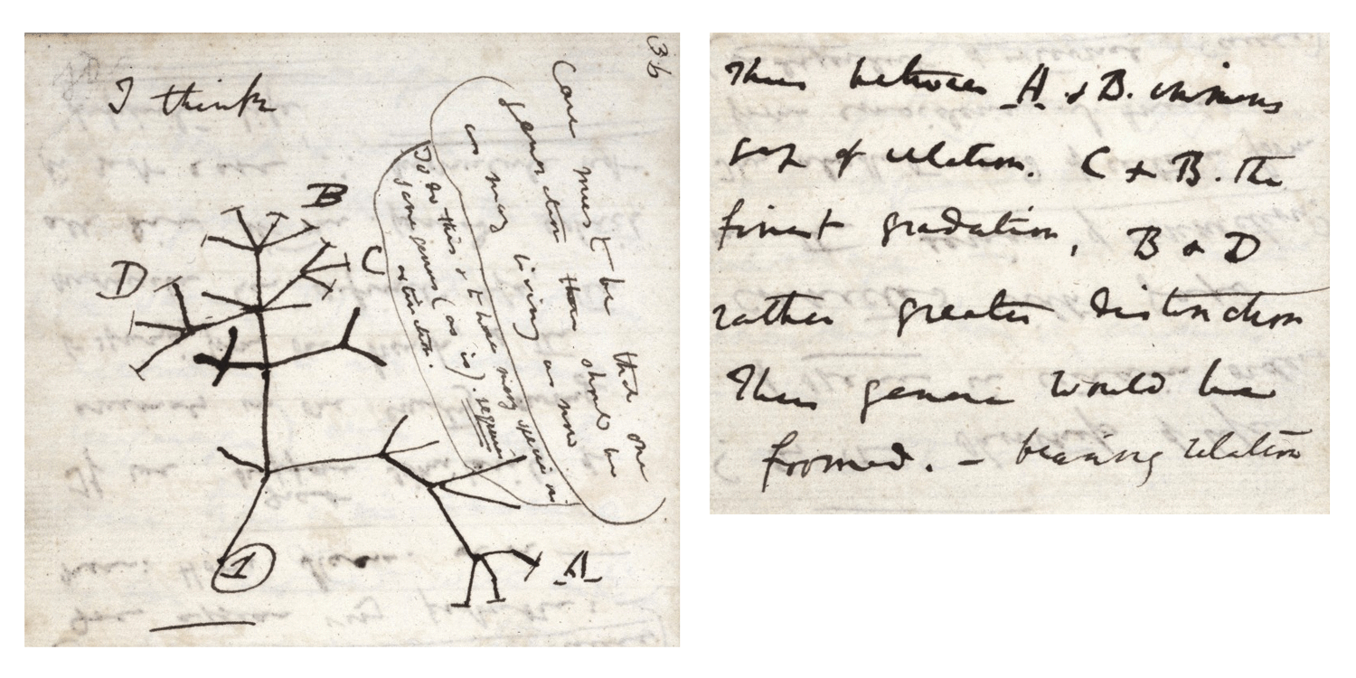 "Darwin's famous 1837 notebook sketch of an evolutionary tree, labeled ""I think."""