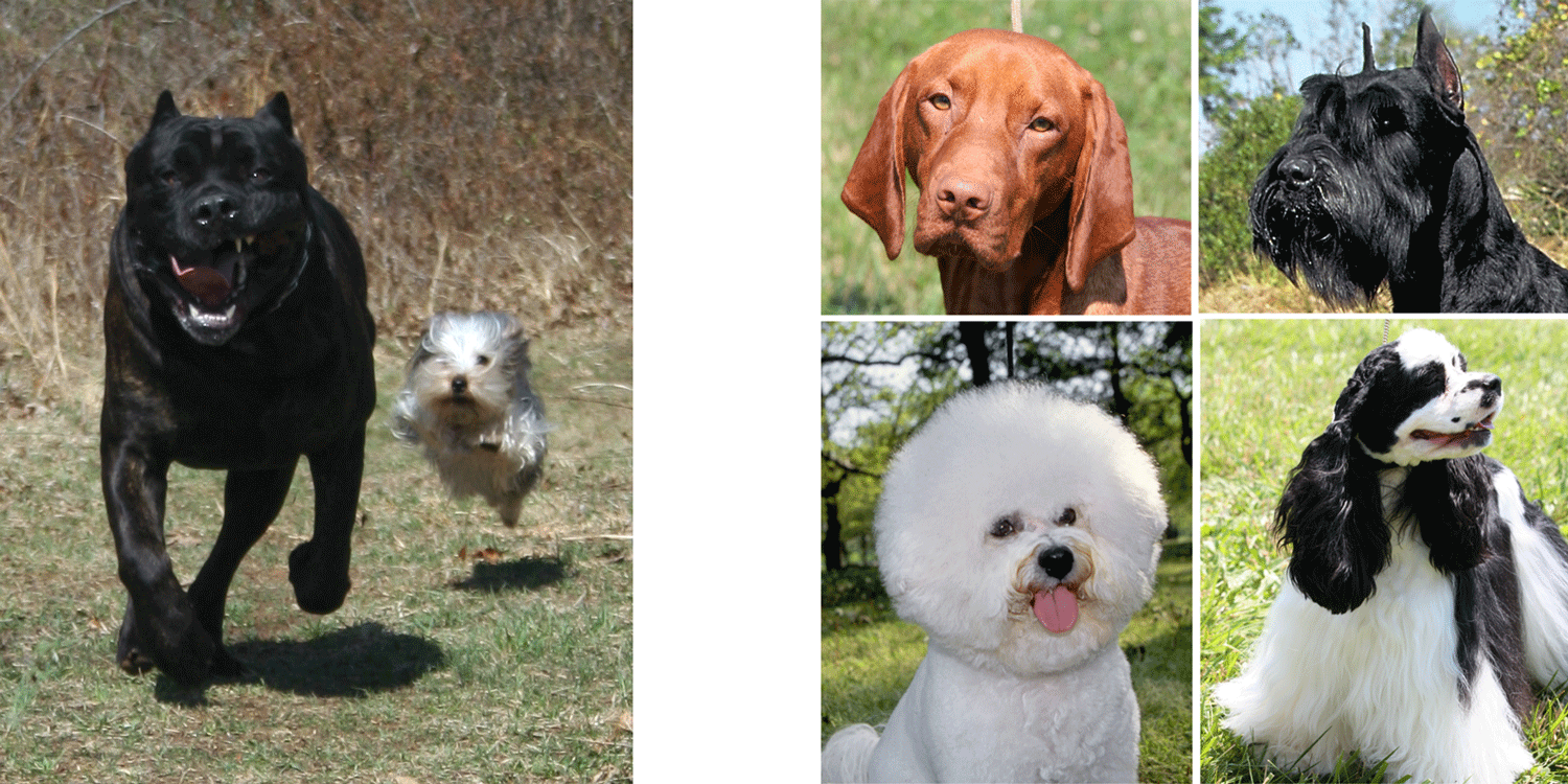 Photographs illustration variation in the adult sizes and coats of domestic dogs.