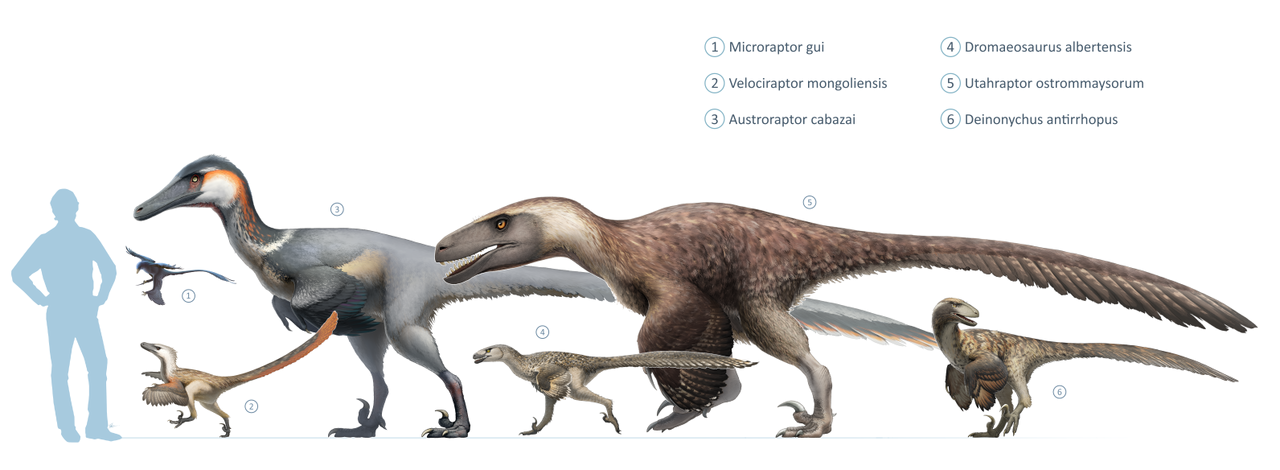 Drawings of six different kinds of dromaeosaurs, with a silhouette of a human for scale.