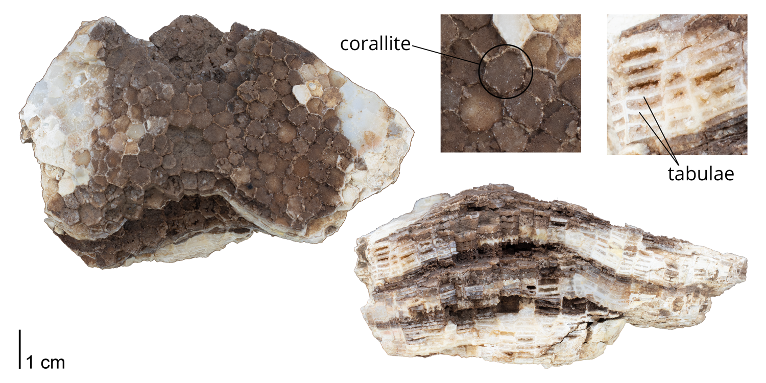 Corallites and tabulae identified on a specimen of Favosites favosus. Specimen is from the collections of the Paleontological Research Institution, Ithaca, New York.