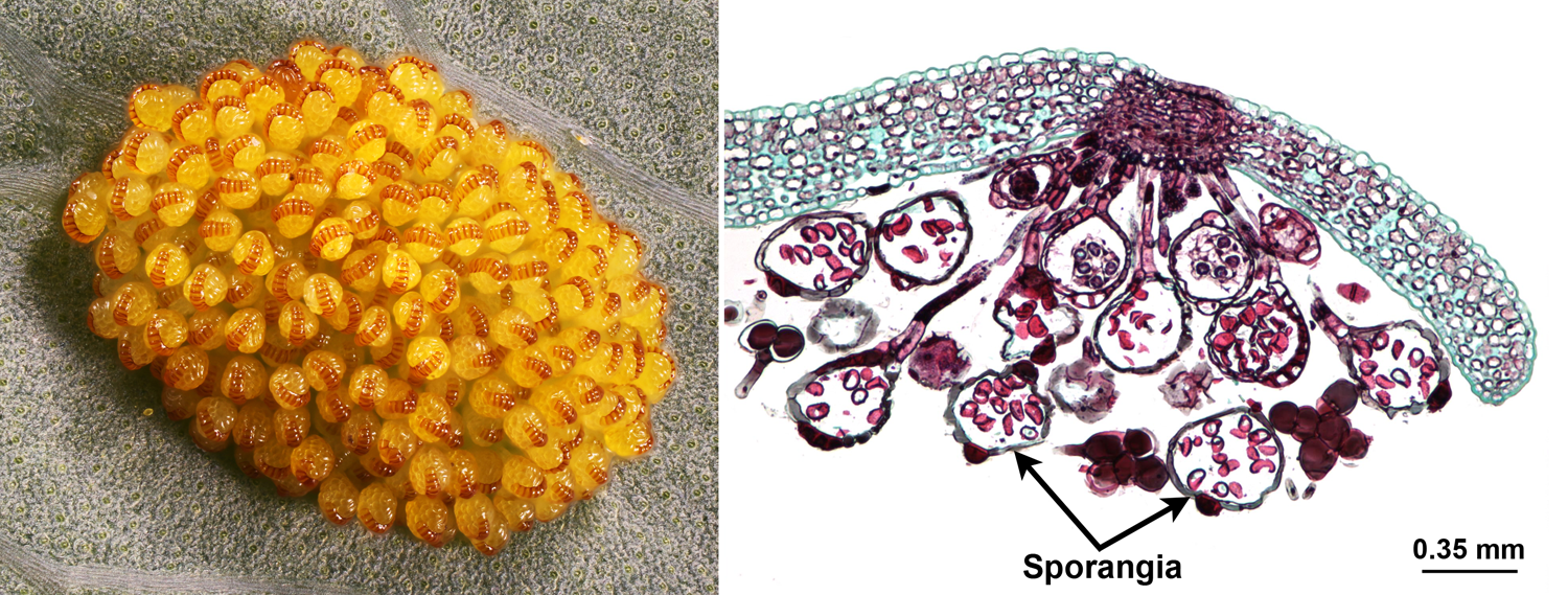 2-Panel figure. Panel 1: Cluster of fern sporangia. Panel 2: Section through a cluster of fern sporangia.