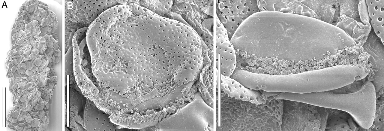 3-Panel figure showing a possible coprolite made up of pollen grains, and details of two pollen grains from the coprolite.