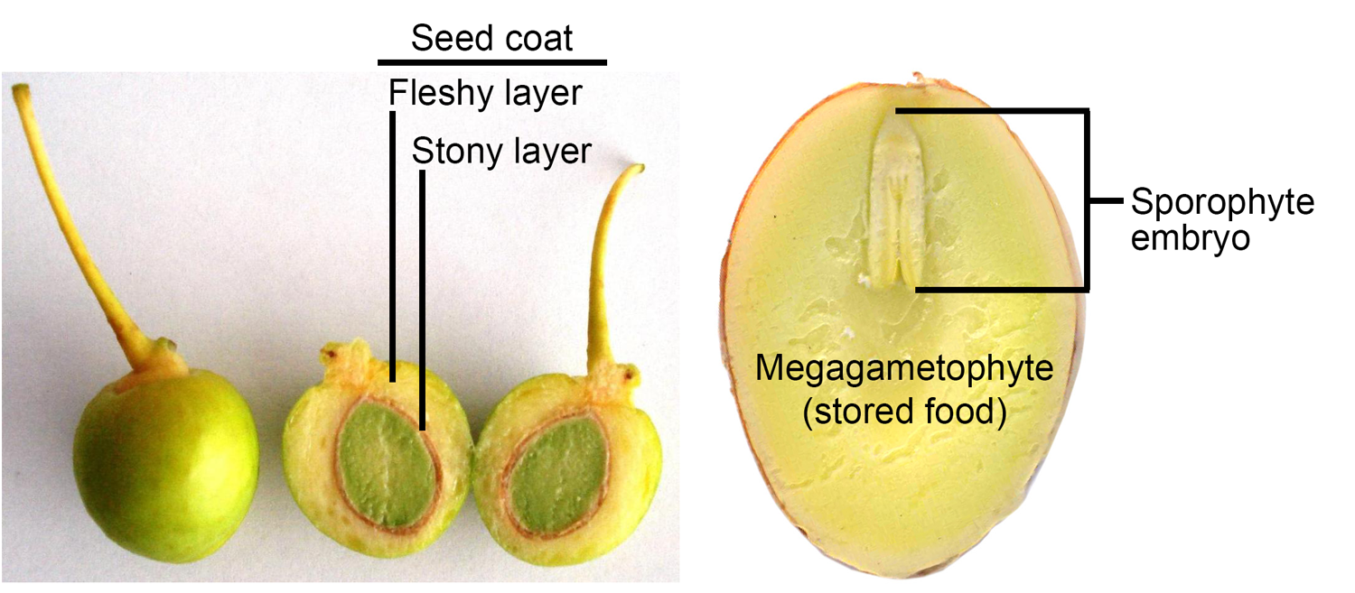2-Panel figure of dissected ginkgo seeds. Panel 1: Seed cut lengthwise to show seed coat layers. Panel 2: Seed with seed coat removed, cut lengthwise to show sporophyte embryo and megagametophyte.