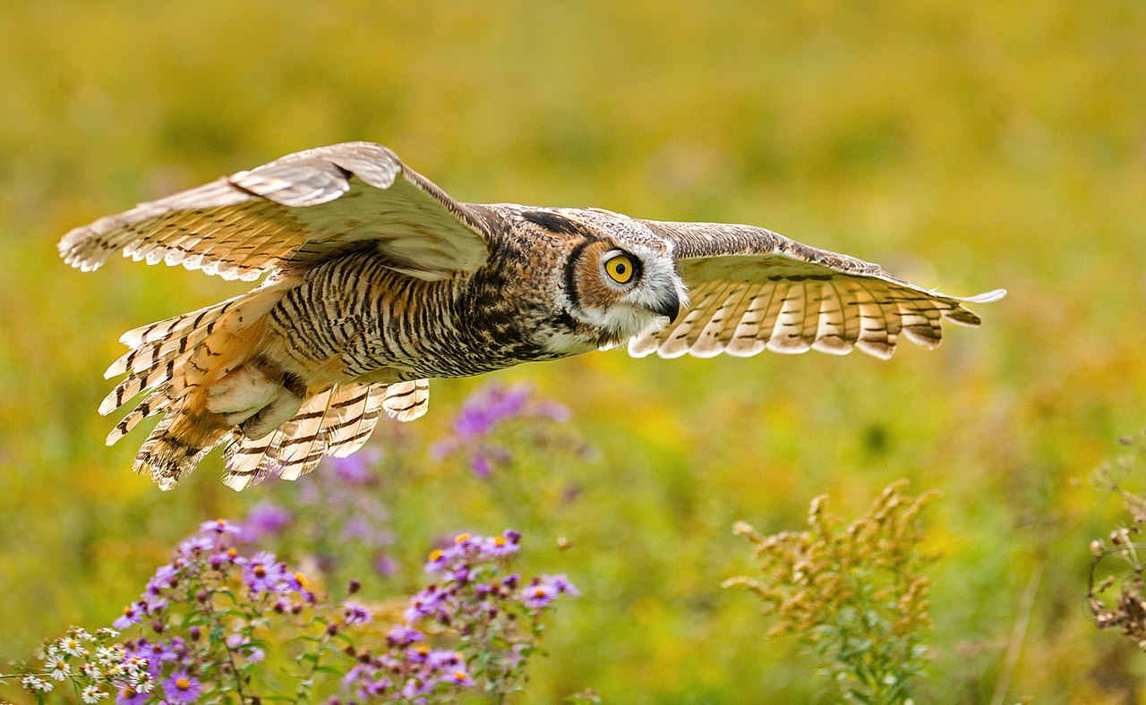 Photograph of a great horned owl hovering over a sun-lit field.