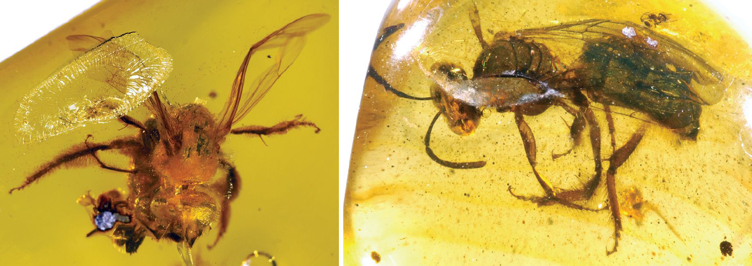 2-Panel figure: Both panels show fossil sweat bees preserved in Miocene Dominican amber.