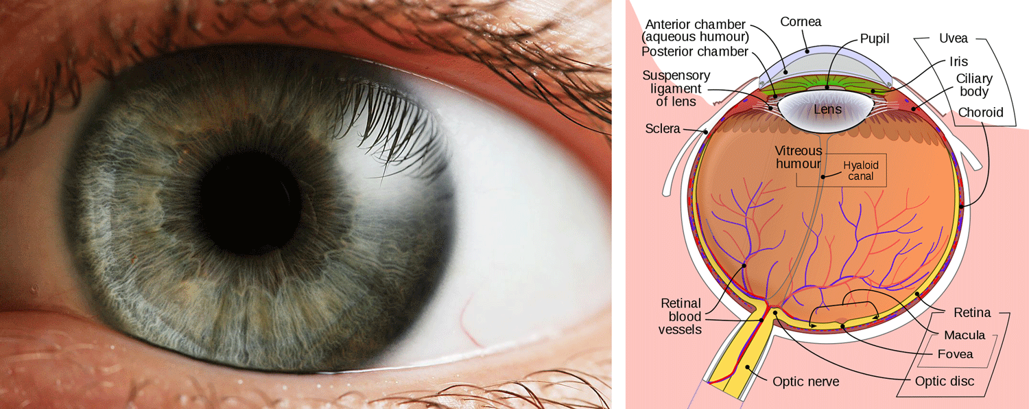 Left: photograph of a human eye, showing details of the iris surrounding the pupil. Right: parts of the human eye, as seen from above.