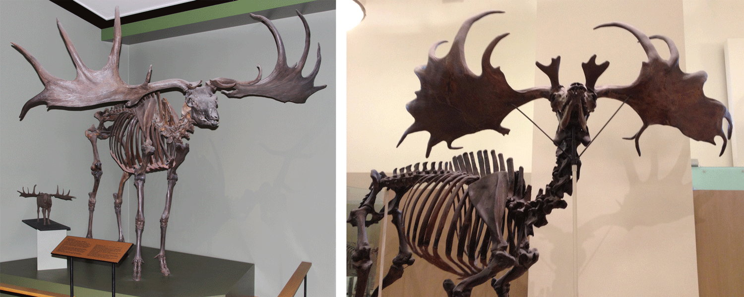 Image shows two different skeletons of Irish Elk.