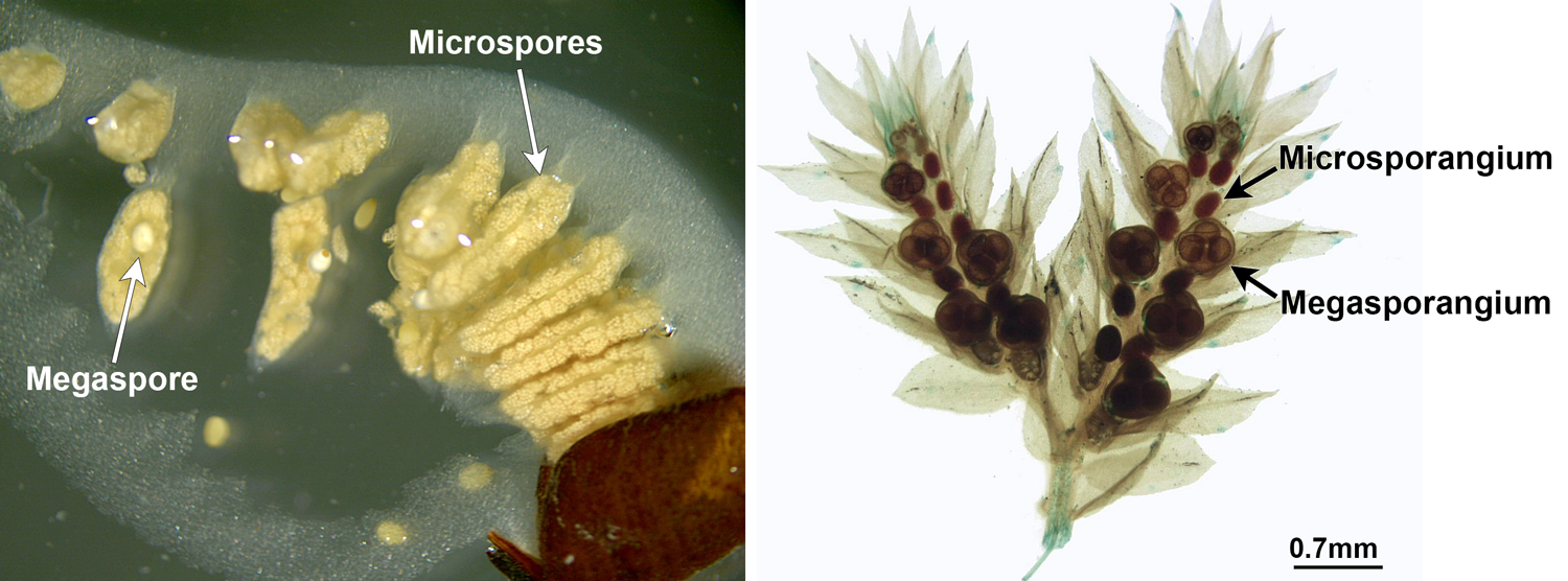 2-Panel Figure. Panel 1: Open sporocarp of water-clover fern with releasing large megaspores and smaller microspores. Panel 2: Spike moss cones with megasporangia containing megasporangia and microsporangia.