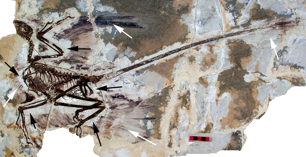 Fossil skeleton of the dinosaur Microraptor, with preserved indications of feathers.