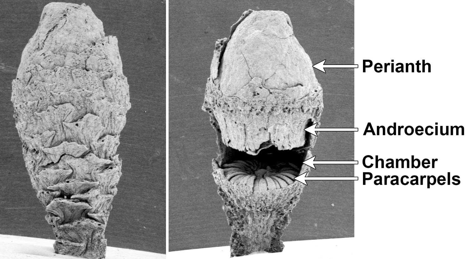 2-Panel figure. Panel 1. Bud of fossil Microvictoria flower. Panel 2. Same bud, partially dissected.