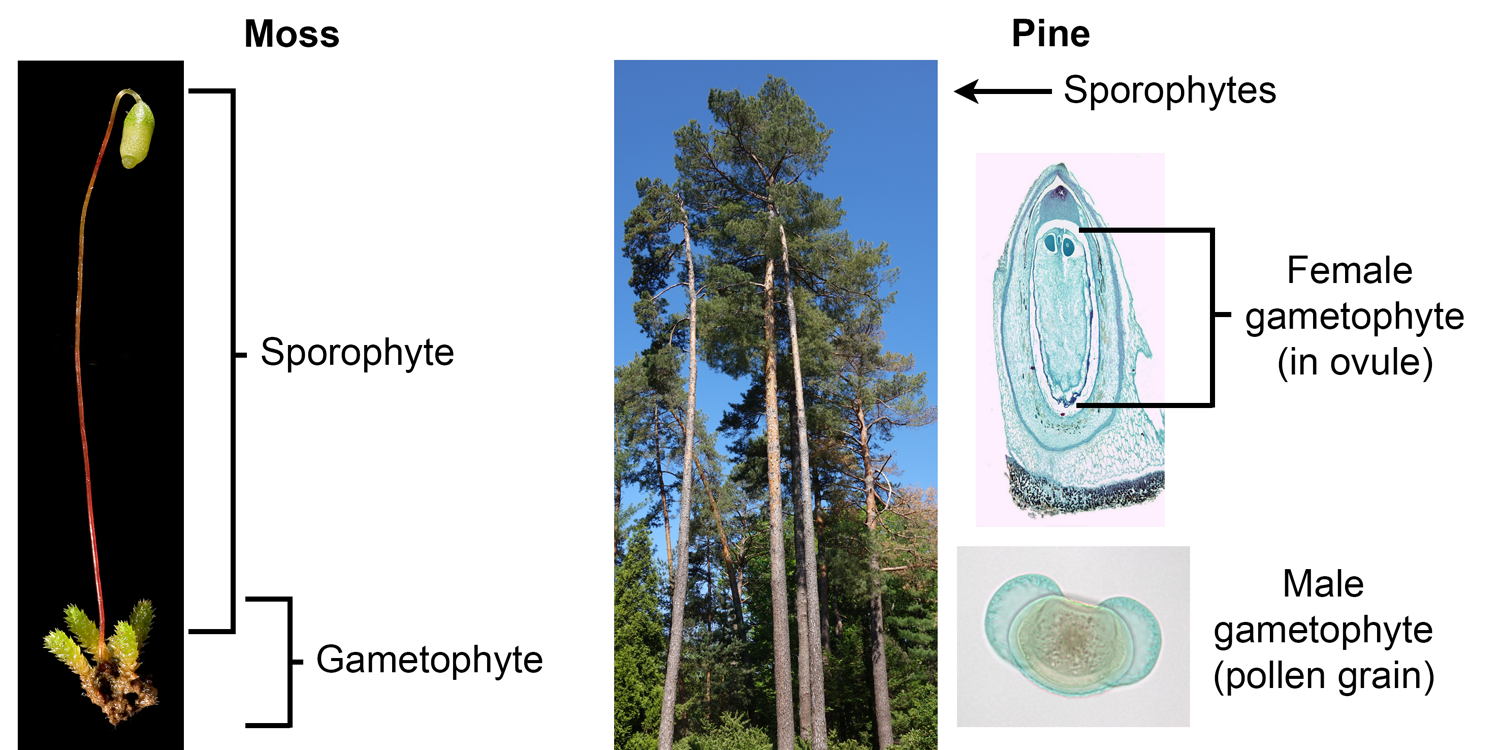 Comparison of the sporophytes and gametophytes of a moss and a pine.
