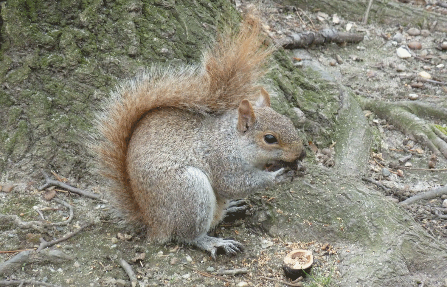 Photograph of a grey squirrel eating a nut.