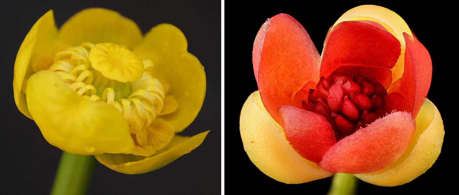 2-Panel Figure. Panel 1 shows a yellow water lily flower. Panel 2 shows a bay starvine flower.
