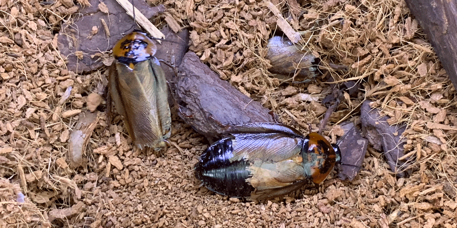 Photograph shows two live specimens of orange head cockroach.