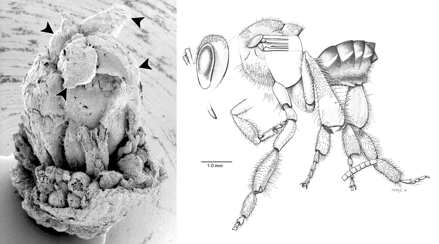 2-Panel figure. Panel 1: Fossil flower of Paleoclusia. Panel 2: Drawing of a fossil stingless bee.
