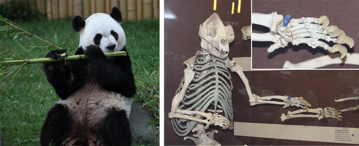 Image showing a photograph of a living panda bear eating bamboo and the skeleton of a panda, highlighting its false thumb.