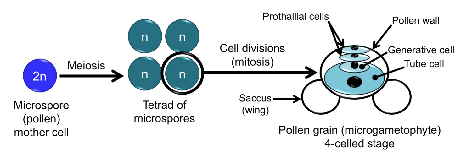 Diagram showing development of a pine pollen grain. A diploid microspore mother cell undergoes meiosis to produce 4 haploid microspores. Each microspore divides to form a pollen grain.