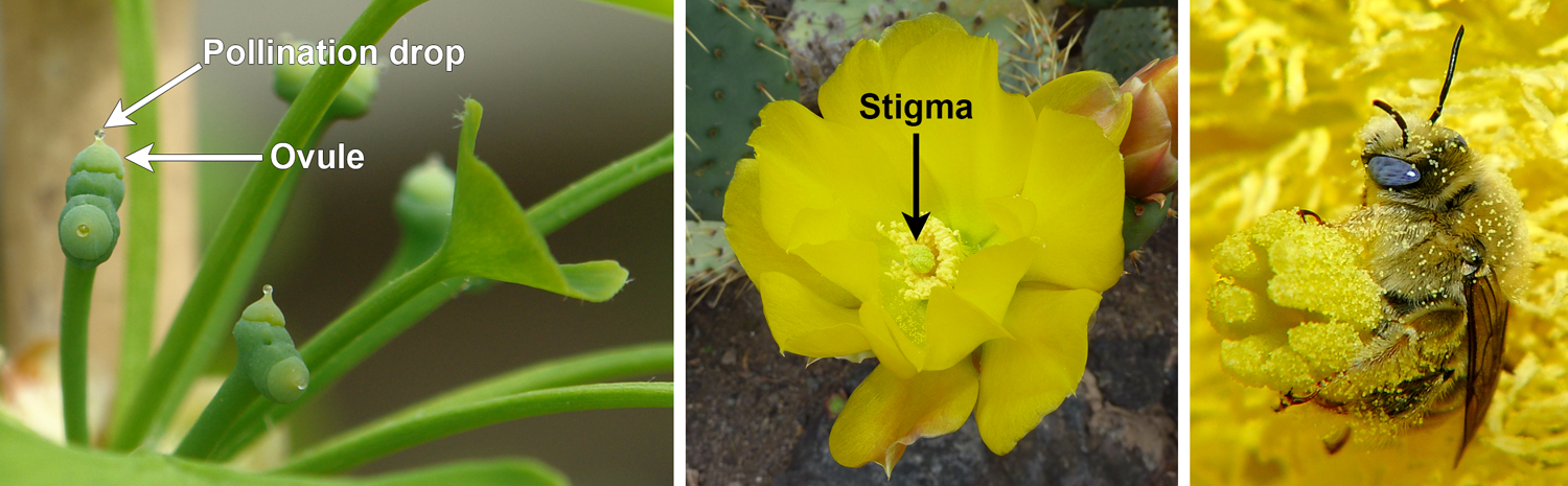 Pollination drops on ginkgo ovules and stigams on a cactus flower.