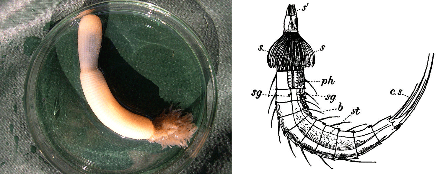 Image shows a photograph of a priapulid and a drawing of a kinorhynch.