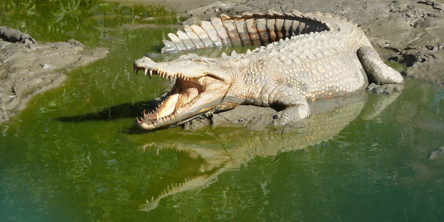 Photograph of a saltwater crocodile basking in the sunlight.