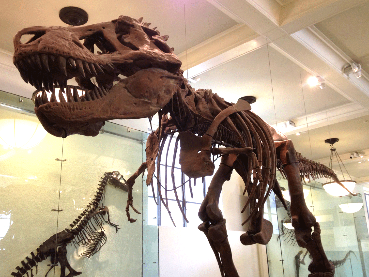 Photograph of a T. rex skeleton at the American Museum of Natural History