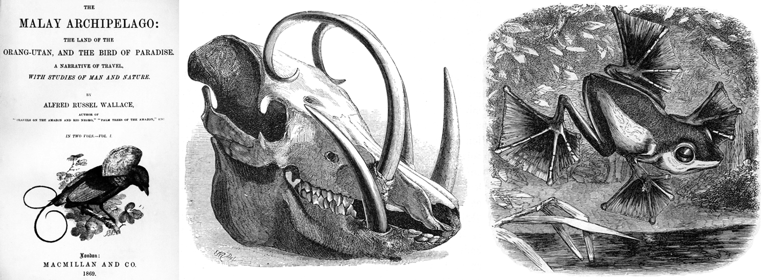 "The title page of Wallace's 1869 book ""The Malay Archipelago,"" along with two images from inside the book, the skull deer-pig (Babirusa) and Wallace's flying frog (Rhacophorus nigropalmatus)."