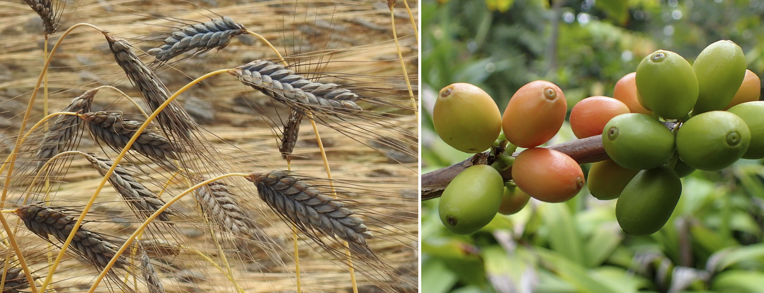 2-Panel figure: Panel 1: Emmer wheat. Panel 2: Coffee cherries on a coffee plant.