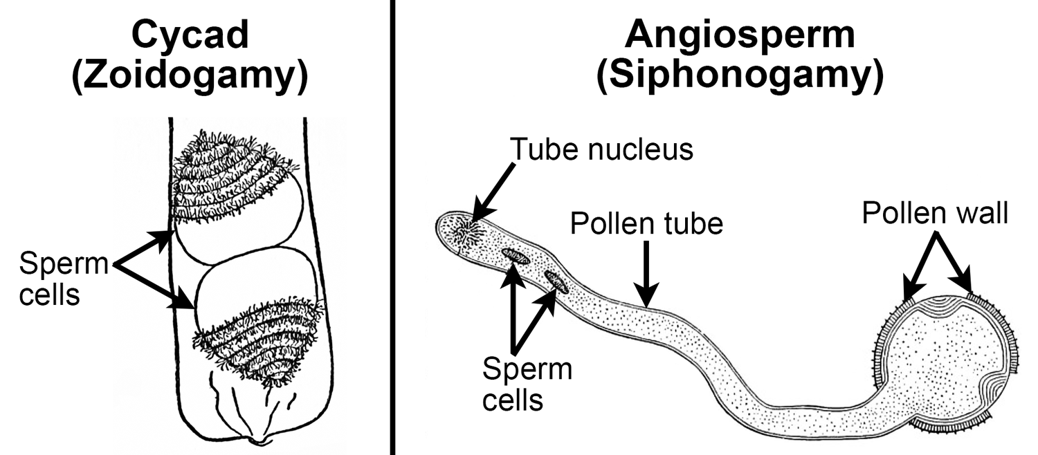 2-Panel figure. Panel 1: Two flagellated cycad sperm cells in pollen grain. Panel 2: Angiosperm pollen grain with long pollen tube and two nonmotile sperm cells.