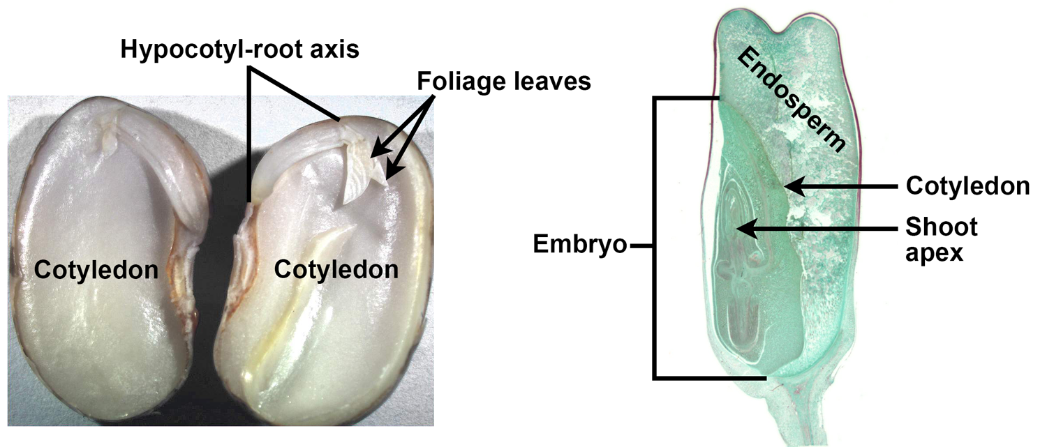 2-Panel figure showing longitudinal sections of seed containing embryos. Panel 1. Bean embryo with two cotyledons. Panel 2. Corn seed with copious endosperm.