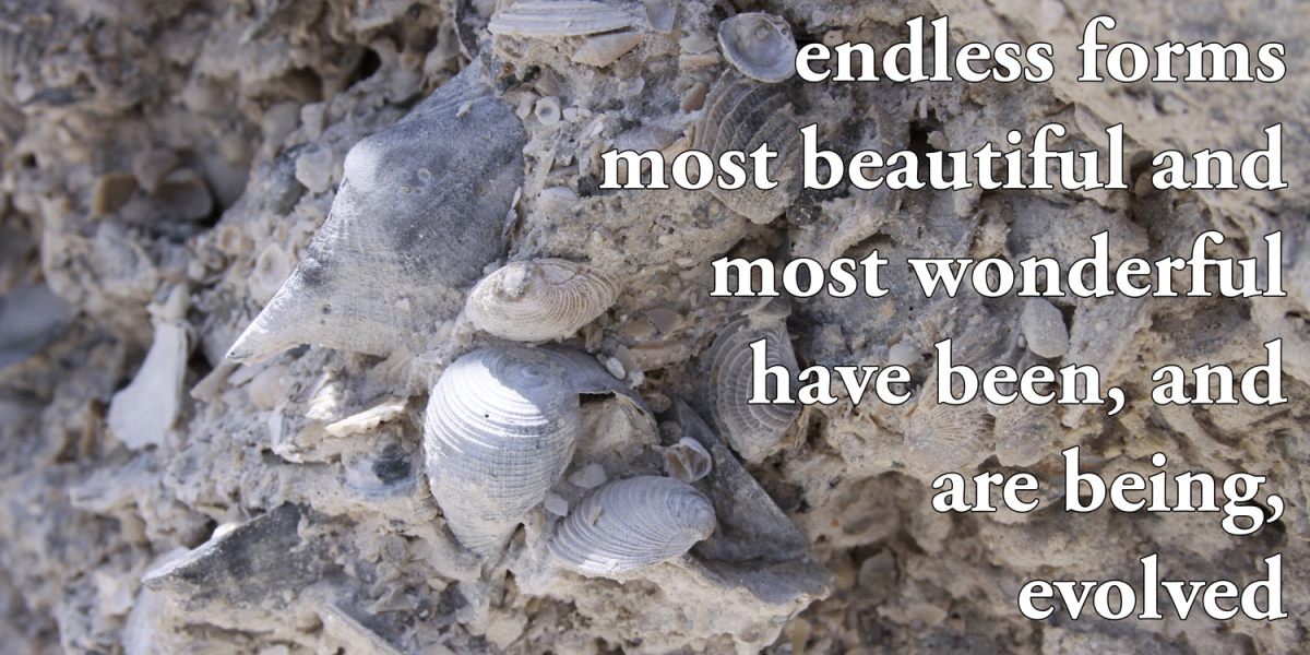 "Photograph of a fossil shell deposit with quote from Darwin ""endless forms most beautiful and most wonderful have been, and are being, evolved."""