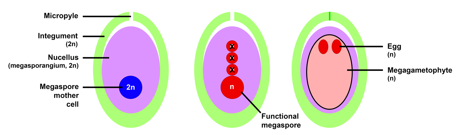 Stages of ovule development typical of gymnosperms: 1. Immature ovule with megaspore mother cell. 2. Ovule after meiosis, with one functional megaspore. 3. Ovule containing a mature megagametophyte with eggs.