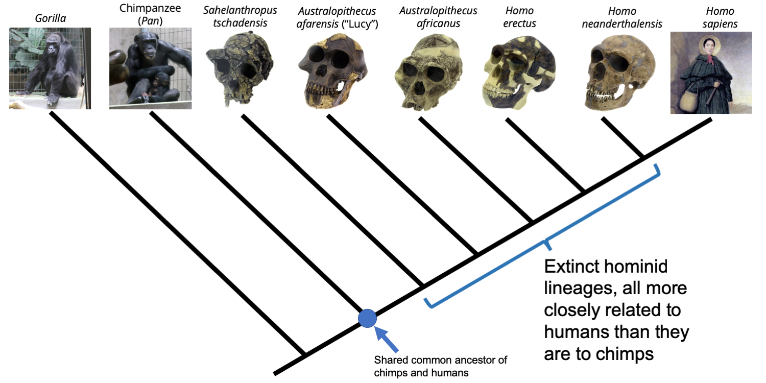Phylogenetic tree depicting the relationships between gorillas, chimpanzees, humans (depicted by 19th century paleontologist Mary Anning); and human-like relatives. The position of the shared common ancestor is indicated, as are the lineages of extinct hominids that are more closely related to humans than they are to chimps.