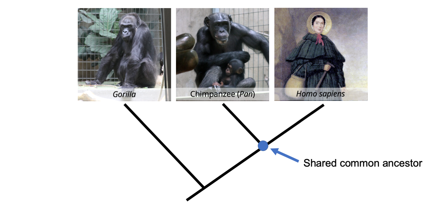 A phylogenetic tree depicting the relationships between a gorilla, a chimpanzee, and a human (19th century paleontologist Mary Anning), with an indication of the position of the shared common ancestor of chimps and humans.