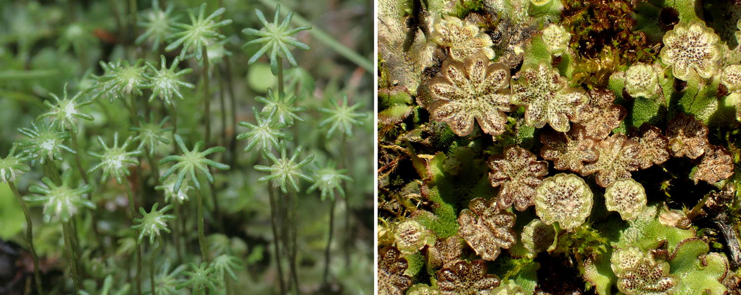 2-Panel figure. Panel 1: Female gametophyte of umbrella liverwort. Panel 2: Male gametophyte of umbrella liverwort.