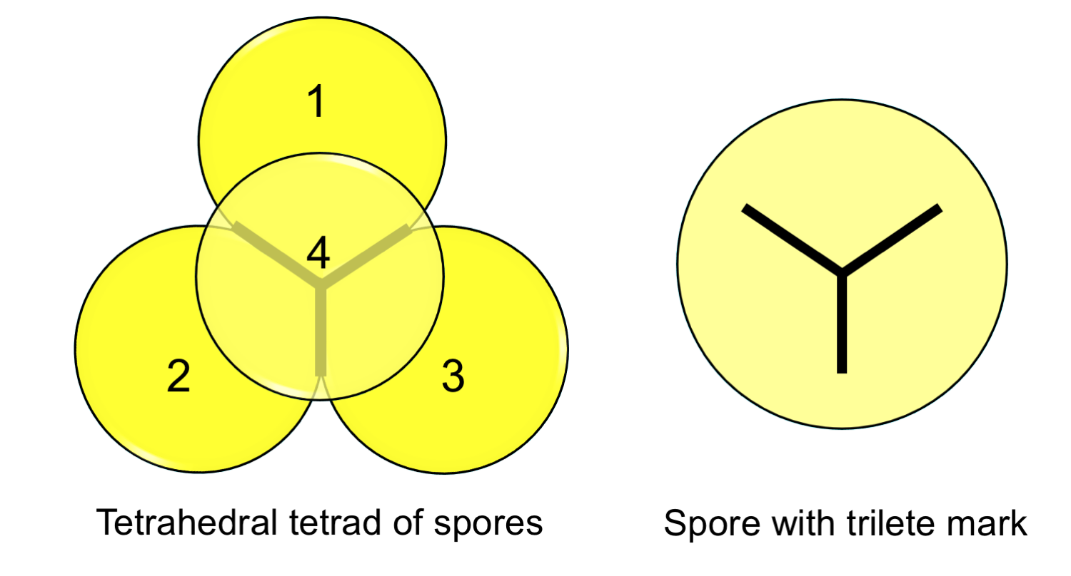 Diagrams of a tetrahedral spore tetrad (pyramid of 4 spores) and a single spore with a trilete mark.