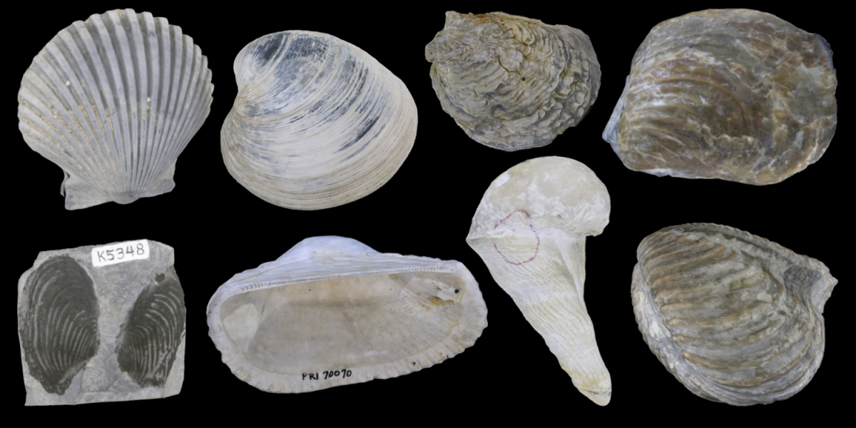 3D models of eight examples of bivalves.