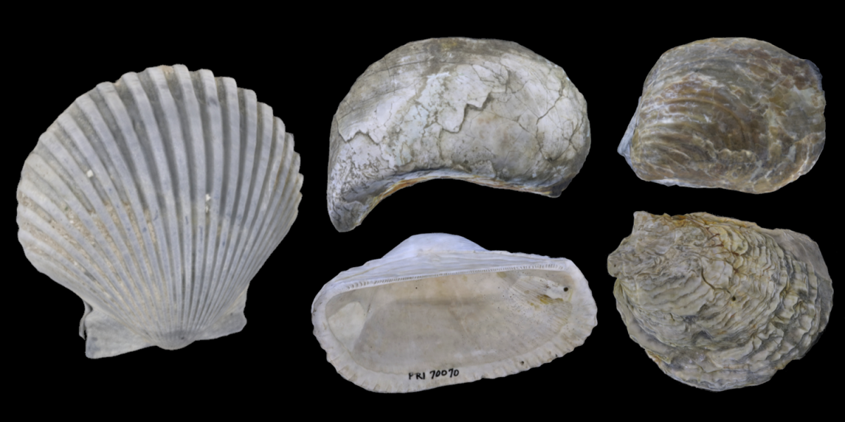 Examples of five 3D models of Pteriomorphia bivalves