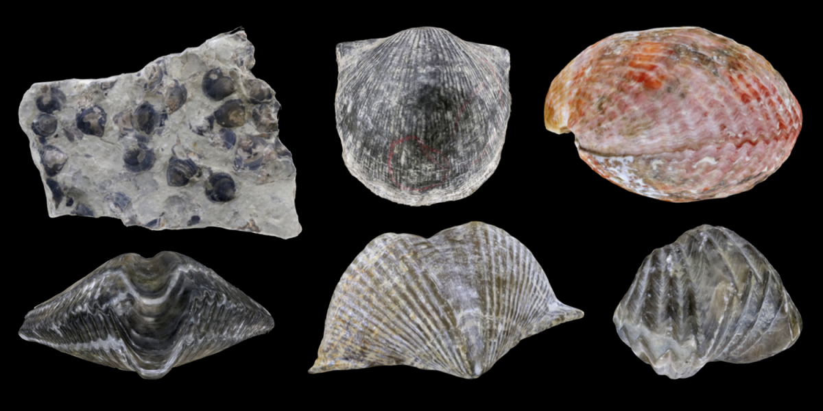 Six 3D models of representative Brachiopoda.