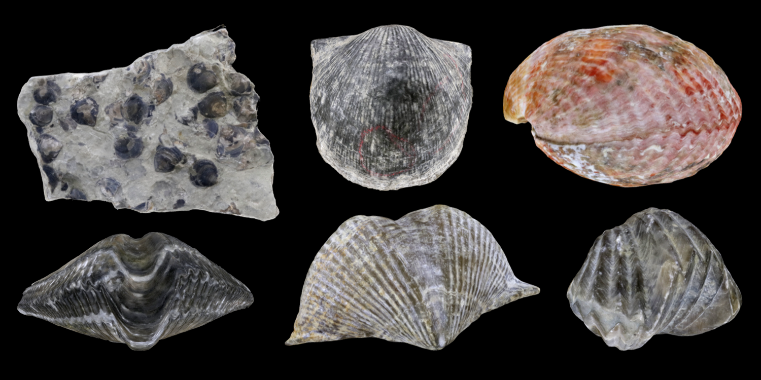 3D models of six representative brachiopods.