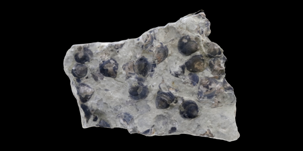 3D model of a rock covered with Lingulata brachiopods.