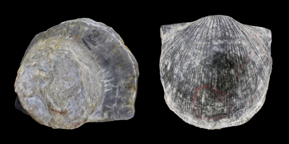 Two 3D models of representative Strophomenata brachiopods.