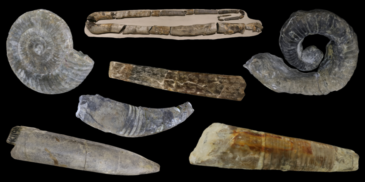 Examples of 3D models of cephalopod fossils.