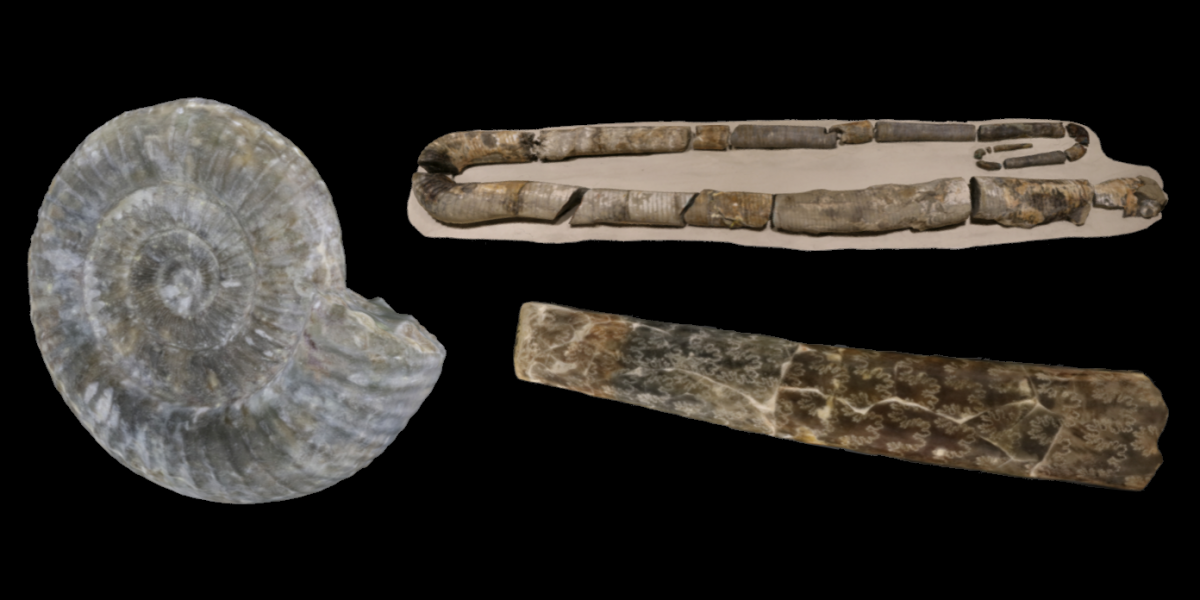 3D model examples of three different kinds of ammonoids.