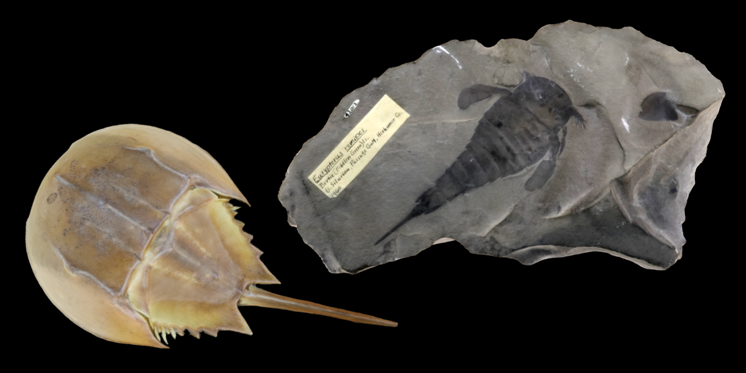 3D models of two representative chelicerates (horseshoe crab and fossil eurypterid).