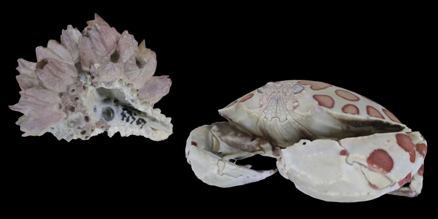 3D models of two representative crustacea (barnacles covering a fossil shell and a modern crab).