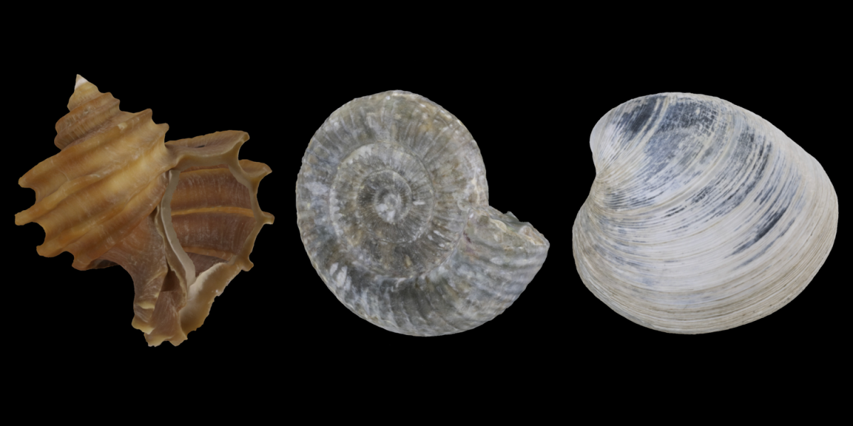 3D models of a fossil gastropod, cephalopod, and bivalve