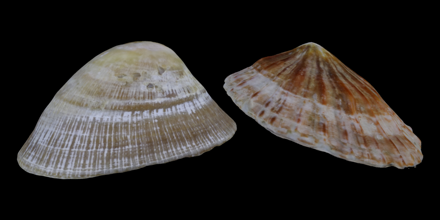 3D models of two limpets